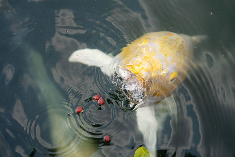 High angle view of koi carps swimming in lake