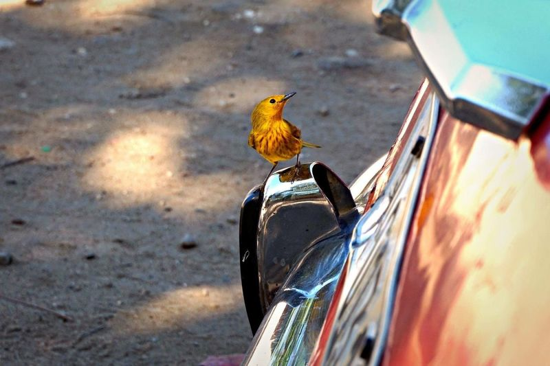 Cuba Bird Oldtimer Mirror Reflection