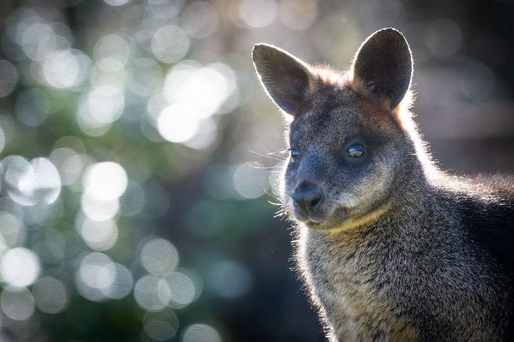 Close-up portrait of kangaroo looking away