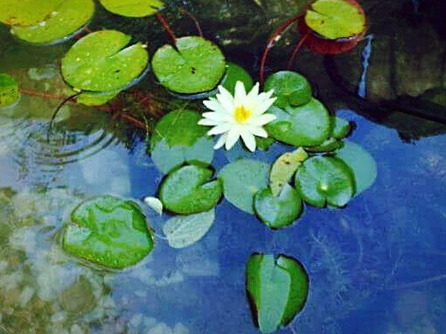Flower Pond Lillypads
