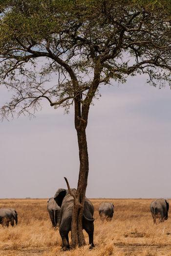 African Elephant Animal Themes Animal Wildlife Animals In The Wild Arusha Beauty In Nature Day Elephant Funny Elephant Horizontal Mammal Nature Ngorongoro Ngorongoro Crater No People Outdoors Safari Safari Animals Scenics Serengeti Serengeti National Park Sunset Tanzania Tree Wildlife