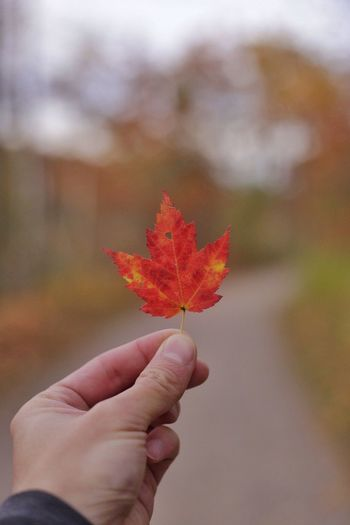 Autumn colors by Simon Yeung Human Hand Autumn Leaf Maple Leaf Change One Person Focus On Foreground Outdoors Day Close-up Nature Beauty In Nature Fall Fall Beauty Beautiful Beauty In Nature Beauty Colorful Photography Photo Photooftheday Toronto Ontario Canada Park