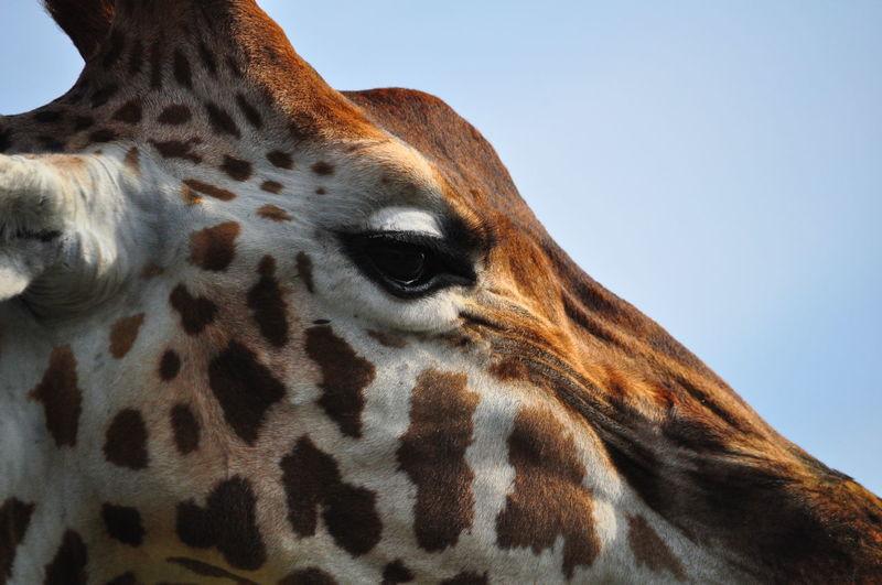 Animal Head  Animal Markings Animal Themes Animal Wildlife Close-up Giraffe Mammal Nature No People One Animal Outdoors Spotted