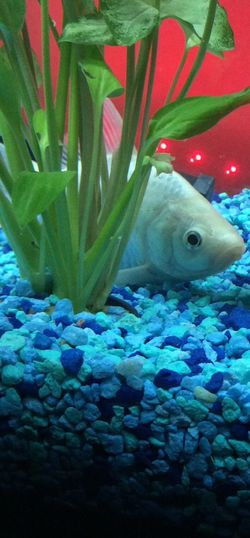 Fish Pet Fish Mom Aquatic Koi Mix White Pearly Natural Plant Beautiful Princess Peach Check This Out Hello World Taking Photos Enjoying Life