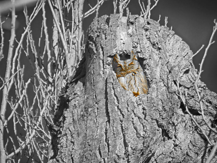 Bare Tree Bark Bird Branch Cold Cute Holes From Woodpeckers Natural Pattern Nature No People Ornithology  Outdoors Owl Rough Screech Owl Snow Tree Tree Tree Trunk Trying To Sleep Winter Wood Wyoming