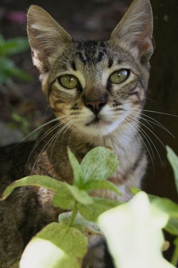 Domestic Cat Feline Whisker Pets Portrait Looking At Camera Nature