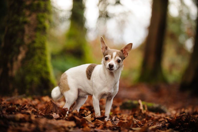 Portrait of chihuahua dog standing on dry leaves