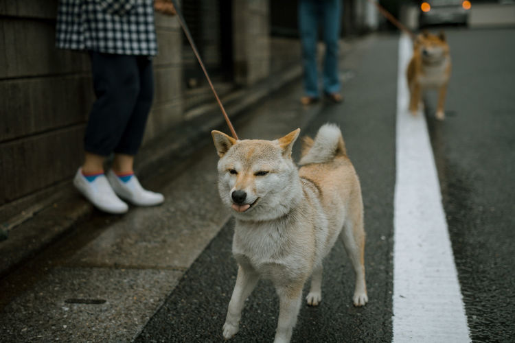 Low section of people holding japanese akita dogs on street