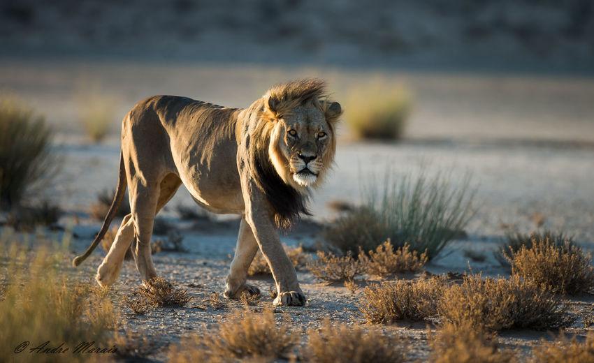 Lion Against Sky