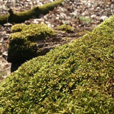 С весенним запахом сырец мох Лес Syrets forest