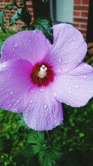Summers Over Flower Wet Petal Flower Head Beauty In Nature Purple Single Flower Rain Purity Close-up Sony Z2 Photography Nature EyeEm Selects Human Meets Technology