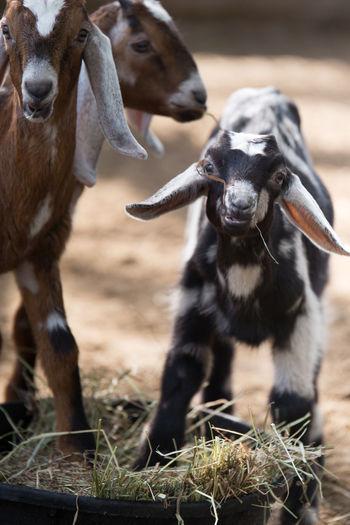 Goa Kids Animal
