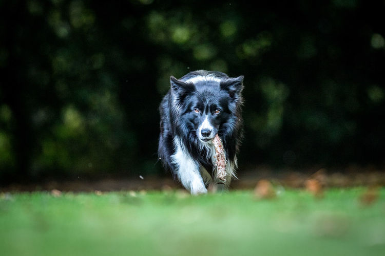 Portrait of dog carrying bone while walking on grassy field