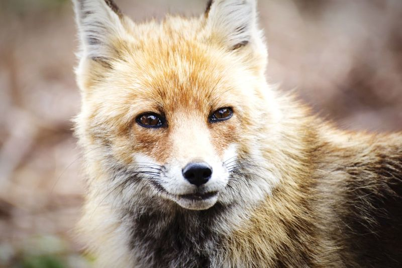 What does the fox say? (2) Open Edit EyeEm Best Shots EyeEm Animal Lover Fox Animals EyeEm Nature Lover