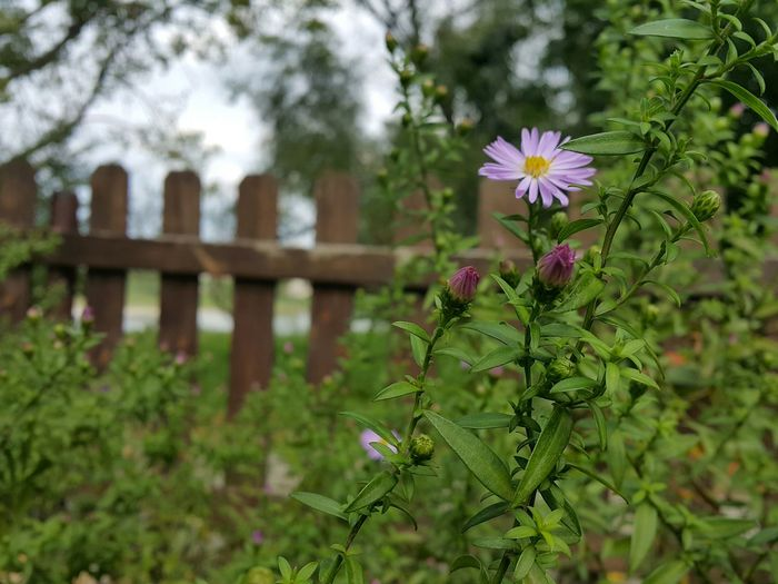 Colorful Garden Purple Flower Garden Fence Looking Up Closed Protected Calm Fragility Green Color Good Mood Life Is Beautiful Day House Gardening Restaurant Decor Stepping Through