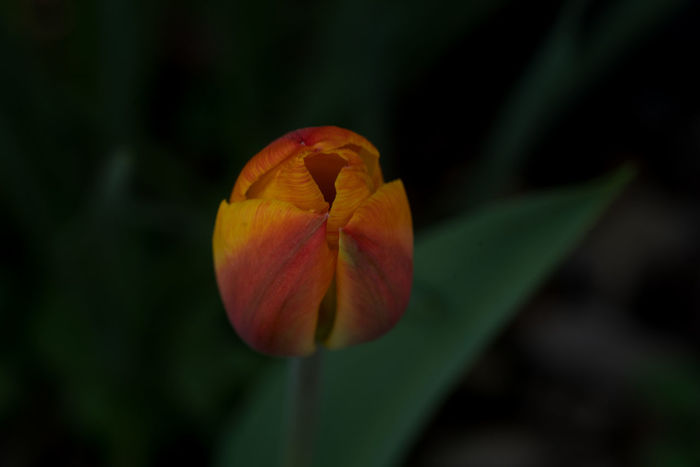 Garden Photography (cont.): Tulip Nature Plants 🌱 Beauty In Nature Close Up Day Frehness Garden Garden Photography Gragility No People Outdoors Plants And Flowers Selective Focus Spring Blossoms Springtime Vulnerability