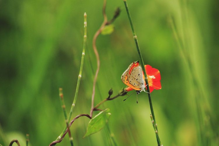 Red Butterfly -