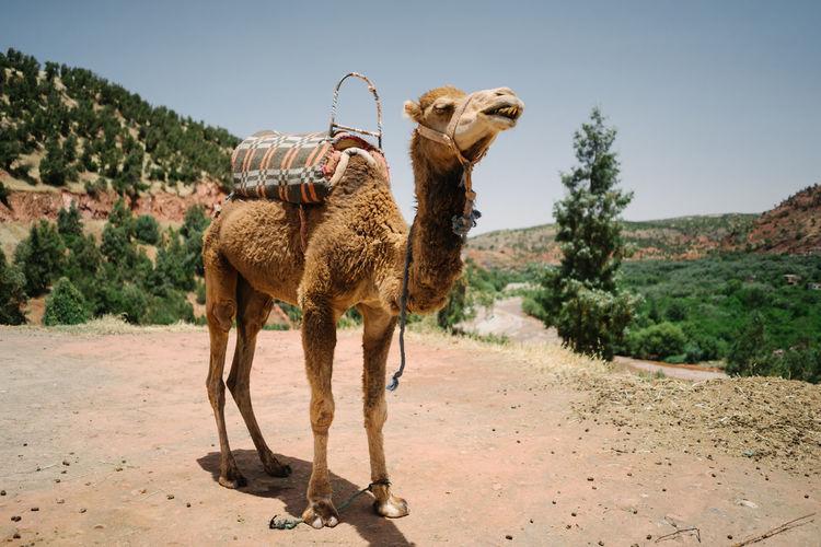 Camel in a field