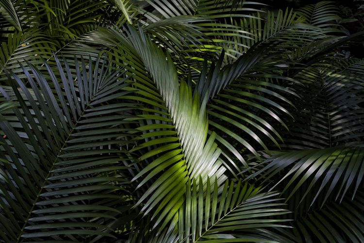 Palm Tree Leaves Leaf Palm Tree Palm Leaf Plant Part Plant Green Color Tropical Climate Growth Leaves Tropical Tree Tree Nature Backgrounds Beauty In Nature Full Frame Photosynthesis Natural Pattern Rainforest Forest Backdrop Pattern Textures Ecology Botany Green