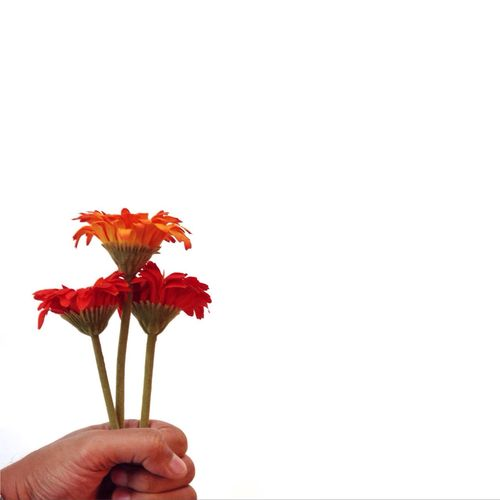 Cropped image of hand holding flower over white background
