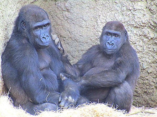 Gorillamännchen Kwame --5Jahre-mit Seiner Großen Freundin Rostock 2017
