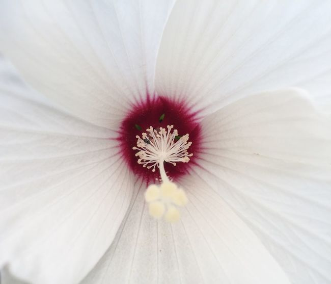 Not sure what kind of flower this is but it's lovely... Flowers Perspectives Minimalism Minimalobsession Deceptively Simple EyeEm Nature Lover Nature Flower Flower Collection Hibiscus