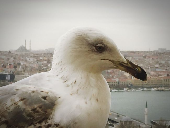 Photo EyeEm Best Shots Photooftheday Photoshoot Eye4photography  EyeEm Gallery Taking Photos Photography EyeEm Istanbuldayasam Istanbul Turkey Istanbul Galata Tower Galatakulesi Seagull Seagulls Nature Lover