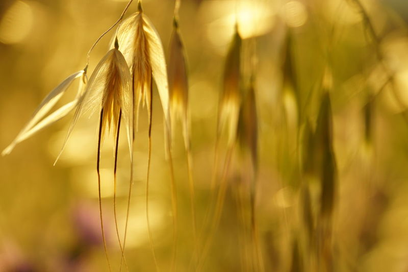Agriculture Cereal Plant Close-up Of Grain Focus On Grain Head In The Foreground Gold Colored Nature Hanging Grain No People No Photoshop Rural Scene Sony A6000 Summer Scene Sunlight Through Grain Head