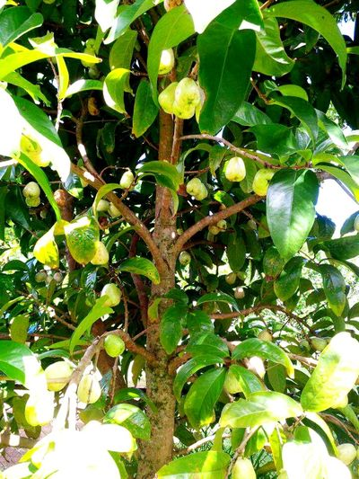 Growth Fruit Tree Nature Food And Drink Freshness Green Color Branch Leaf No People Beauty In Nature Low Angle View Food Healthy Eating Outdoors Close-up Mountain Apple Tree:)