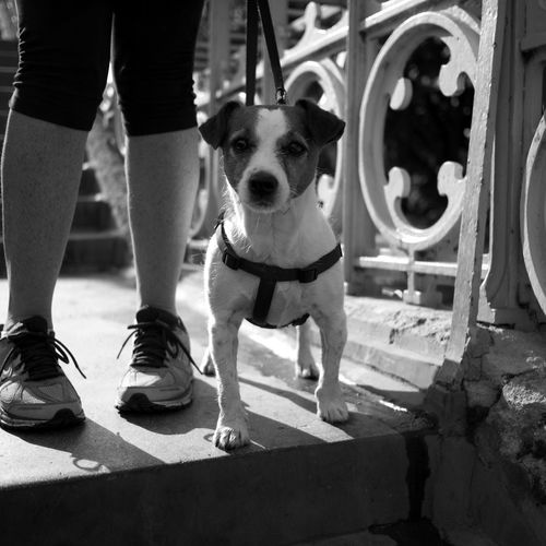 Jack Russel terrier. Animal Head  Curiosity Dog Domestic Animals Jack Russel Terrier Pets Portrait Yappy Dog
