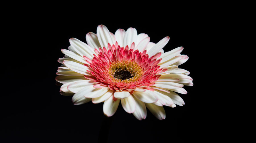 Flowering Plant Flower Fragility Petal Vulnerability  Freshness Studio Shot Beauty In Nature Inflorescence Flower Head Close-up Black Background Plant Pollen Daisy Indoors  Growth Nature No People Lowlight