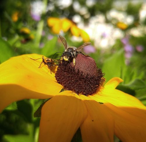 Goldenrod Soldier Beetle Insect Leaf Cutter Bee Black Eyed Susan Beauty In Nature Nature Close-up Petal Day Plant Yellow Flower Head Bee Save The Bees Bee 🐝 Outdoors