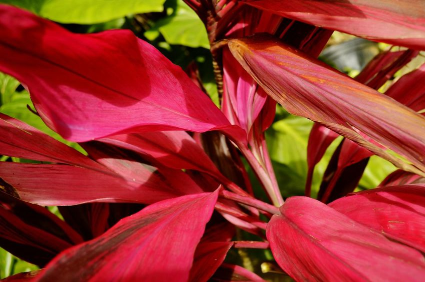 Caribbean Botanical RedLeaves Tropical Leaves Growth Leaf Nature Outdoors Backgrounds Maroon Red Beauty In Nature Close-up Bright Colors Tropical Plants Red Nature Huge Leaves Plant Life Botanical Gardens