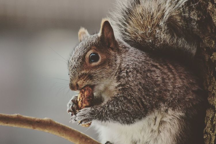 Close-Up Of Squirrel With Peanut