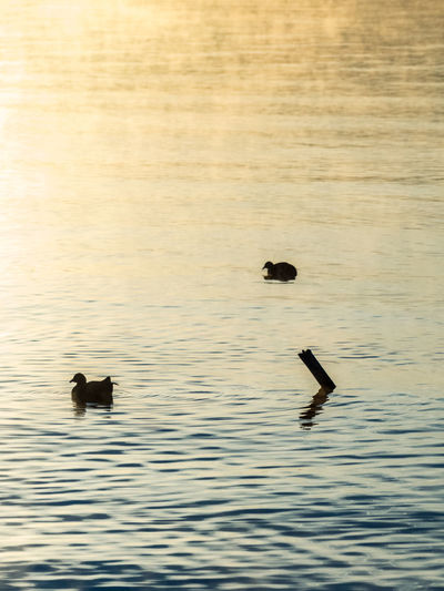 ducks on foggy morning Animal Themes Animals In The Wild Bird Dawn Day Fading Colors Foggy Gull Lake Mist Nature No People Outdoors Silhouette Silhouettes Sunrise Swimming Water Waterfront