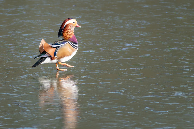 Bird Animal Themes Animals In The Wild Animal Animal Wildlife Lake Duck One Animal Water Mandarin Duck Poultry Water Bird Waterfront Wildfowl Wild Fowl Color Colourful Colourful Nature Ice On Thin Ice EyeEm Best Shots - Nature EyeEm Best Shots Nature Photography Nature Nature On Your Doorstep