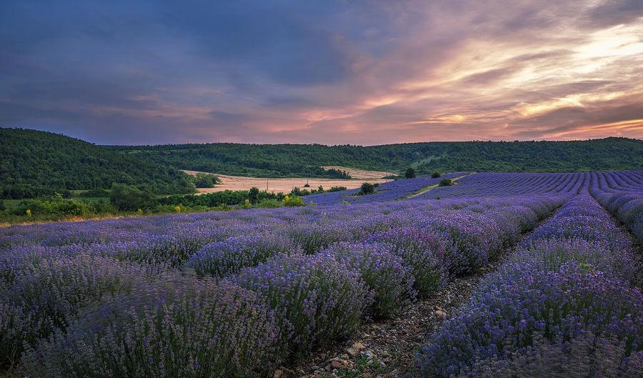 lavender Beauty In Nature Cloud - Sky Field Flower Freshness Landscape Lavender Lavender Colored Nature Purple Sunset Tranquility