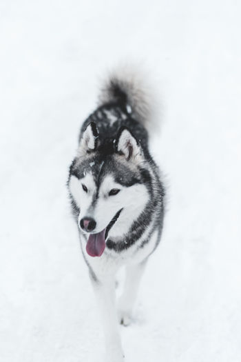 Husky One Animal Animal Mammal Animal Themes Dog Canine Pets Domestic Animals Winter Sled Dog Domestic Snow Cold Temperature Vertebrate No People Siberian Husky White Color Nature Day Mouth Open Snowing Snowcapped Mountain