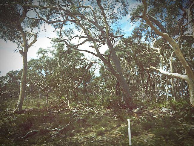 Australia Trees Streetview