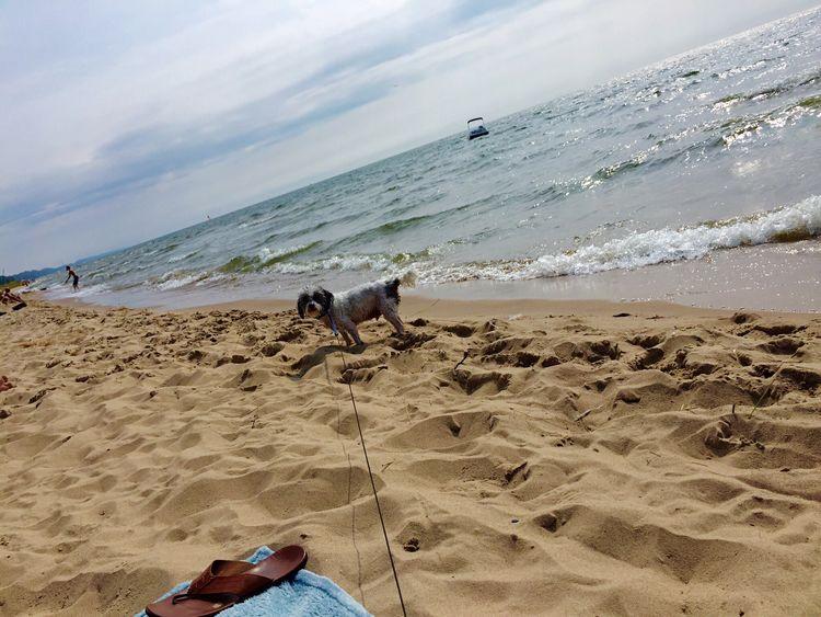 Beach Sand Sea Dog Lake Michigan Yorkiepoo He Is Heading Back To Swim Love My Dog  Michigan, USA Home Of My Heart Listen Within First You Must Fly Tadaa Community Tadaa Pocket_family