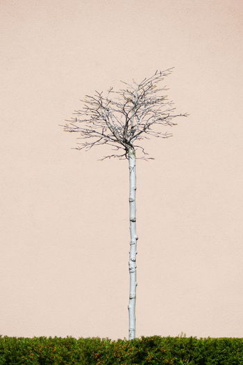 Close-up of bare birch tree