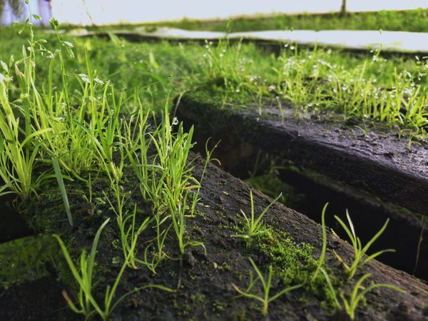 Grass Growth Focus On Foreground Field Nature Green Color Agriculture Water Beauty In Nature Freshness Close-up Humidity Sprouting Burgeoning Growing Medium Wooden Texture Wet Wood EyeEm Nature Lover Eye Em Gallery Moss Algaebloom Algae Vitality Of Water Young Plants Groundcover