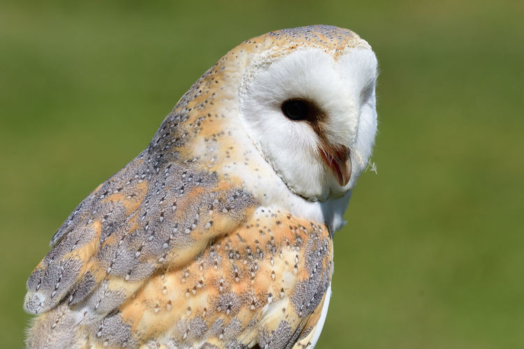 Close up portrait of a barn owl