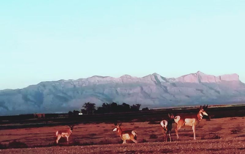 Antelope and the guadalupe mountains♡