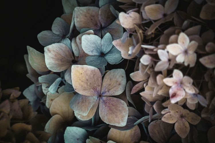 High angle view of white hydrangea flowers