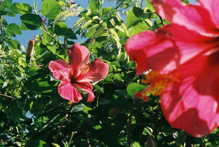 Flower Plant Outdoors Hibiscus Nature Growth Day Red Filmcamera Filmisnotdead 35mm Film Photography Nature