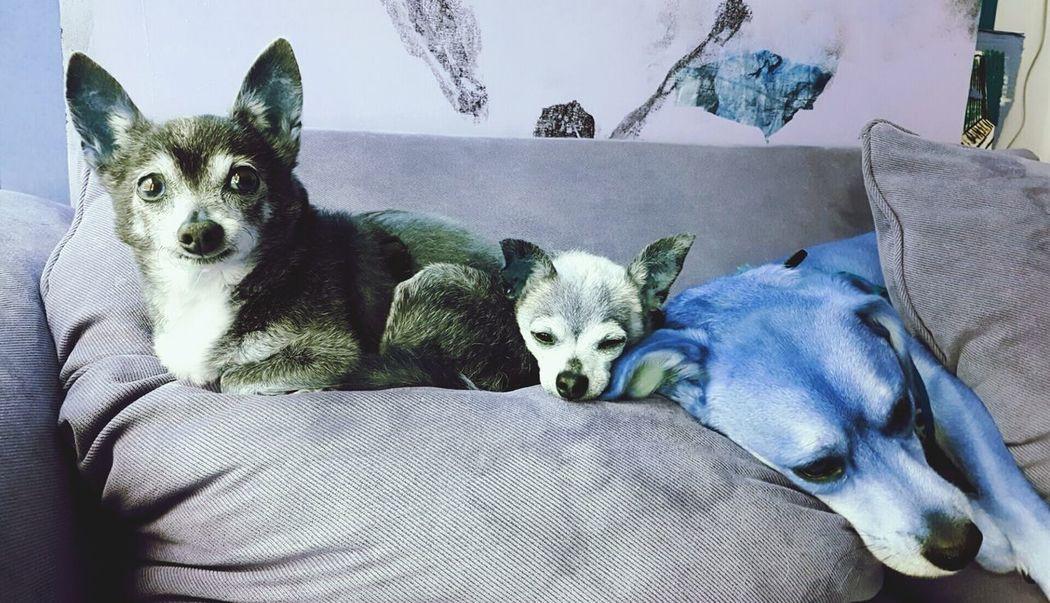 3dogcouch Violethue Bestfriendforever Percy Eldiablo Lobo Rainydaylife