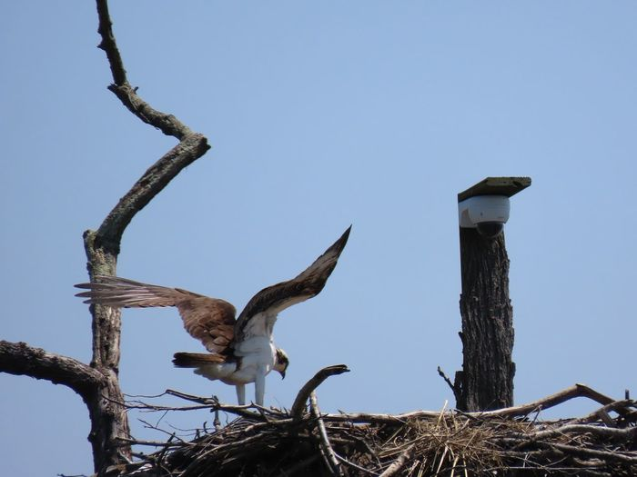 Osprey Lansing nest birdwatching birds of EyeEm wings spread blue sky beauty in nature outdoors Animal Themes Bird Of Prey Low Angle View No People