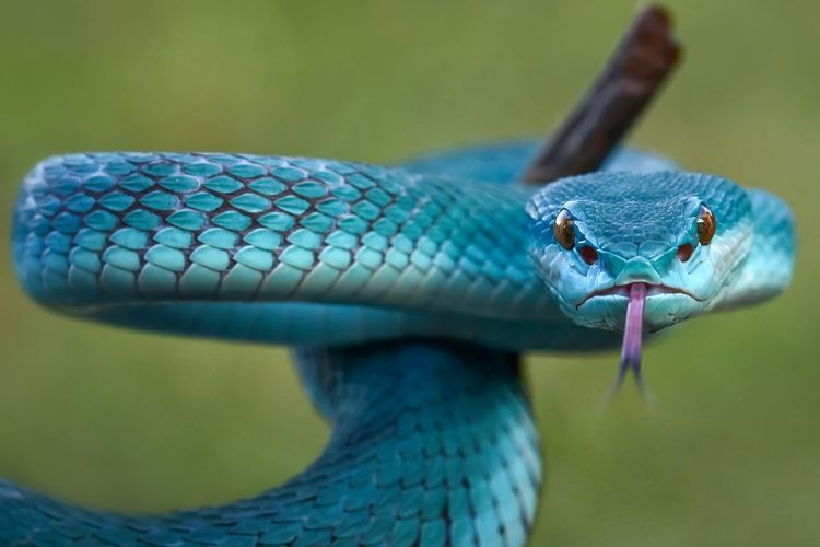 Blue insularis snake tree pit viper