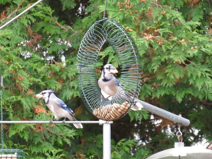 Two animals blue jays with peanuts in their beaks Birds of EyeEm beauty in nature close up birdwatching Animal Themes Outdoors No People
